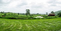Paddy fields in the village