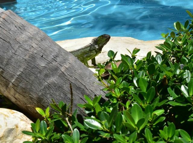 Lary Iguana - ADOS