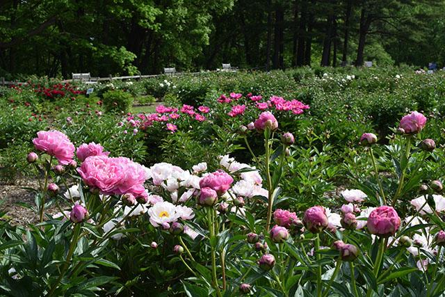 Ann Arbor-Michigan-The Peony Garden at Nicholas Arboretum