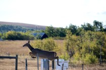 Deer jumping over a fence on our way to Waterton Lakes National Park.
