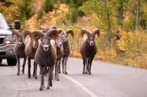 Bighorn sheep causing a traffic jam in Waterton Lakes National Park.