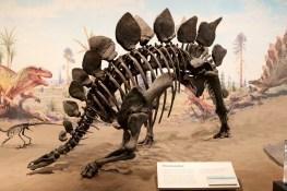 Stegosaurus at Royal Tyrrell Museum of Palaeontology.
