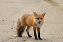Friendly fox in Prince Albert National Park, SK