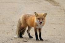 Friendly fox in Prince Albert National Park, SK