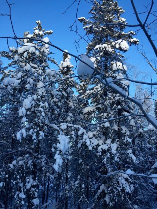 Can you spot the fluffy white ptarmigan in the tree?