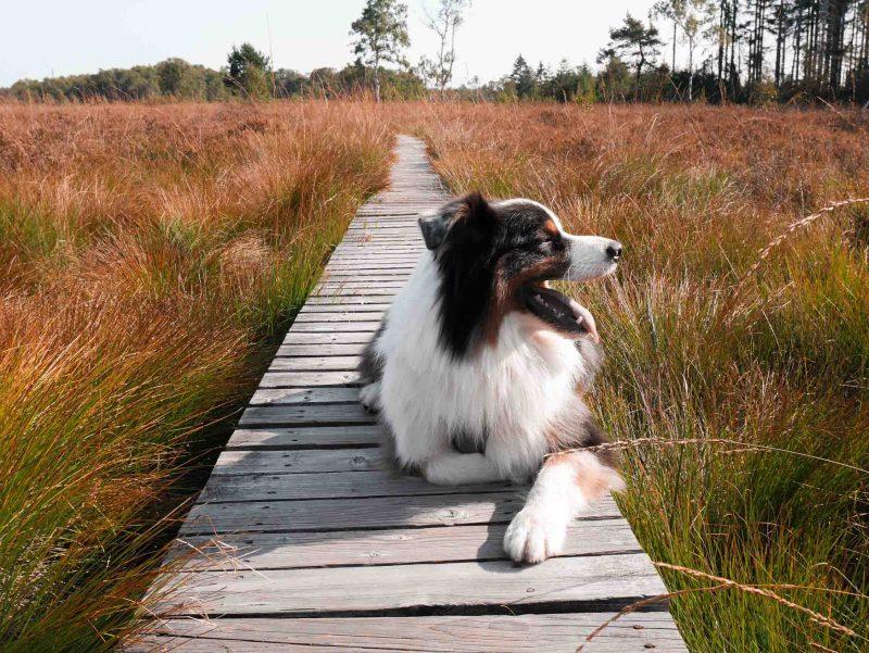 wandelen in de hoge venen met de hond