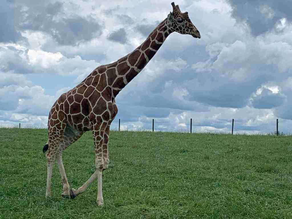 Giraffe at The Wilds