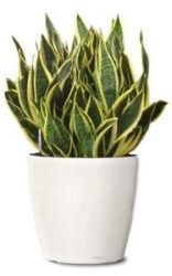 Snake Plant For Success