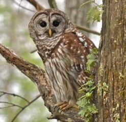 barred_owl_granthickey national parks