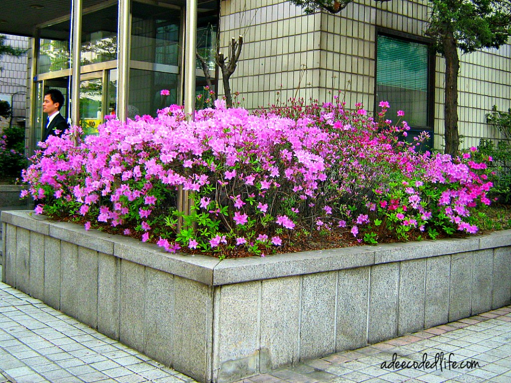 seoul korea flowers 4