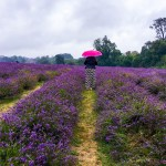 Mayfields Lavender Fields {Deetour}