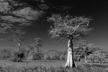 Cypress Tree, Blue Cypress Lake, Vero Beach, FL © Adel Alamo 2012