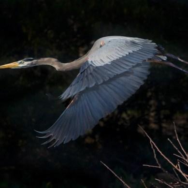 Gliding Great Blue Heron, Wakodahatchee Wetlands, Boynton Beach, FL