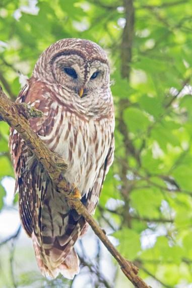 Barred Owl, Corkscrew Swamp, Naples, FL