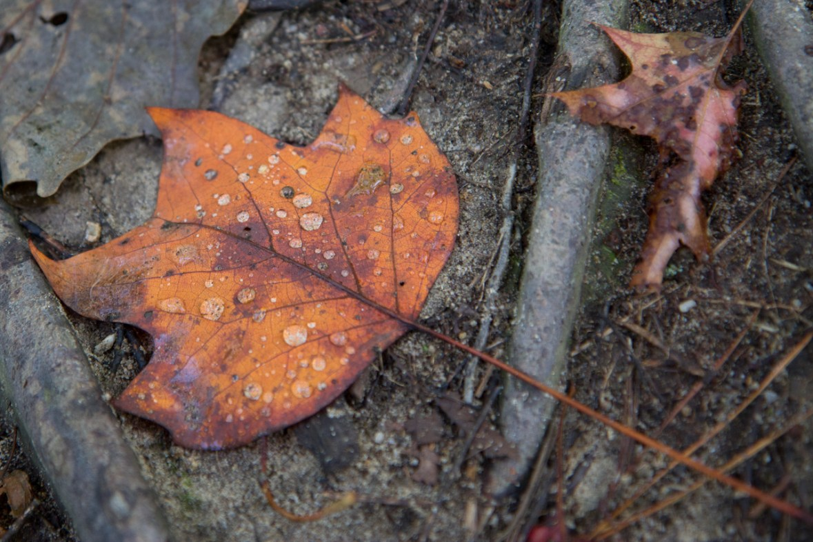Dewy Leaf, Abrams Falls Trail, Great Smoky Mountains National Park, TN