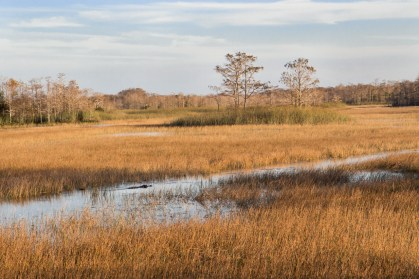 Gator in the Grass, Grassy Waters Preserve, West Palm Beach, FL