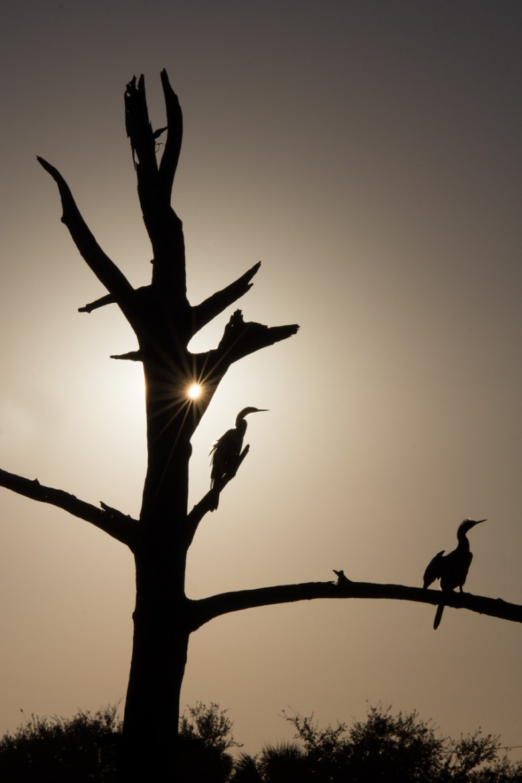 Anhinga, Snakebird Silhouette - Green Cay Nature Center, Boynton Beach, FL