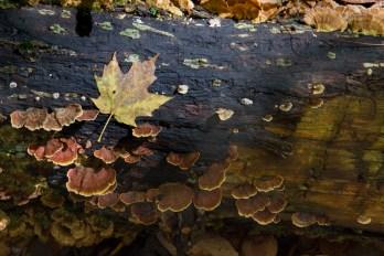 Turkey Tail Mushrooms, fall leaves, Sam's Gap Trail, Appalachian Trail, Mars Hill, NC Trail © Adel Alamo 2015