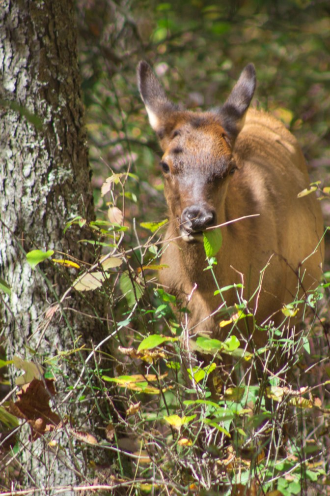 Juvenile Elk, Cataloochee Valley, Great Smoky Mountain National Park, NC © Adel Alamo 2015