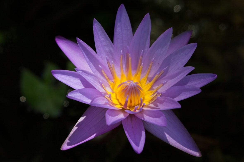Purple Water Lily, McKee Botanical Gardens, Vero Beach, FL