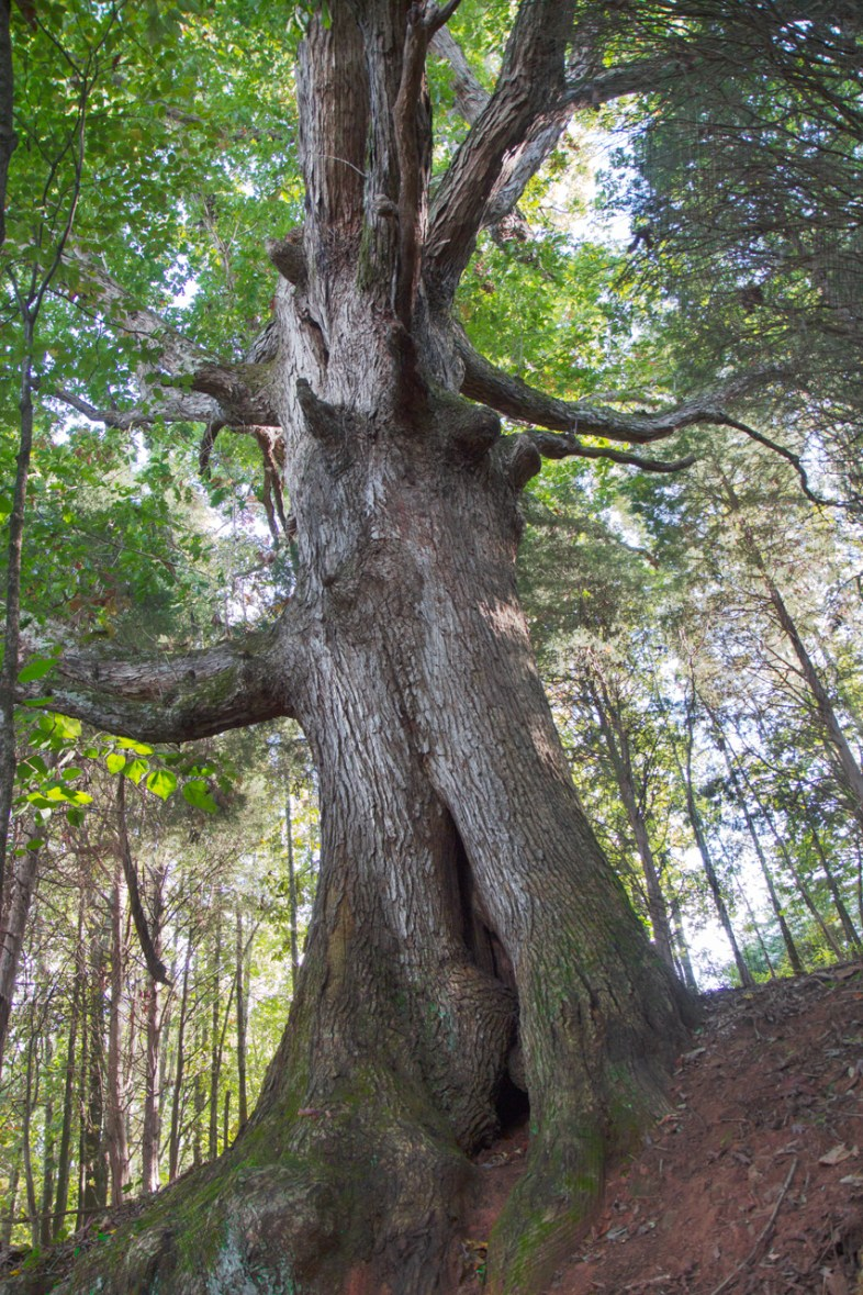 Massive Tree on Trail, Fort Louden State Park, Vonore, TN