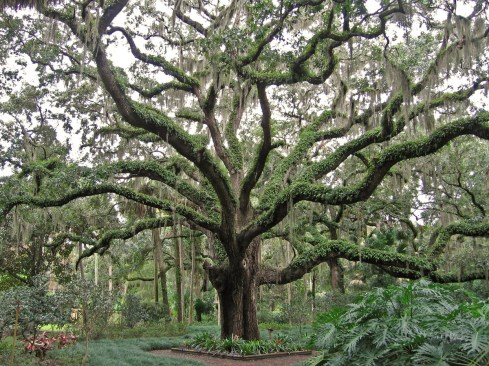 Giant Oak Tree, Washington Oaks State Park, St Augustine, FL