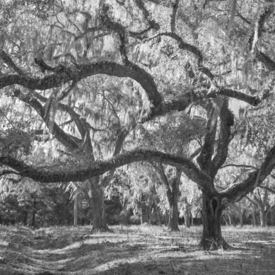 Oak tree in black and white, Leesburg, FL