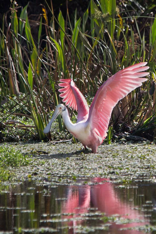 Roseate Spoonbill, Wakodahatchee Wetlands, Boynton Beach, FL