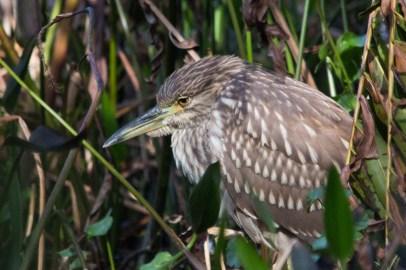 Black Crowned Nigh Heron Juvenile, Wakodahatchee Wetlands, Boynton Beach, FL