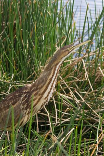 American Bittern, Wakodahatchee Wetlands, Boynton Beach, FL