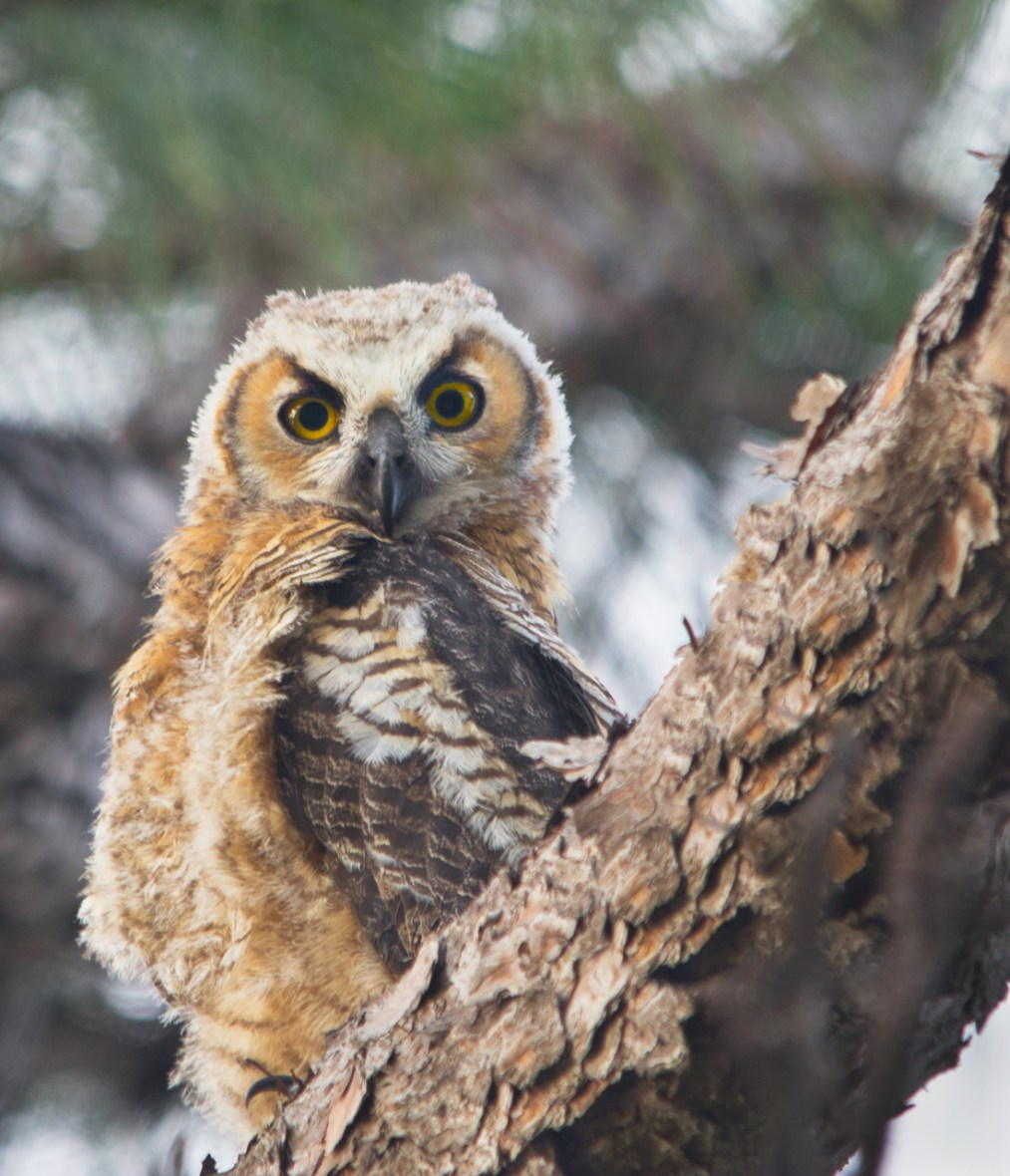 Great Horned Owl Juvenile - Hobe Sound Preserve, Hobe Sound, FL