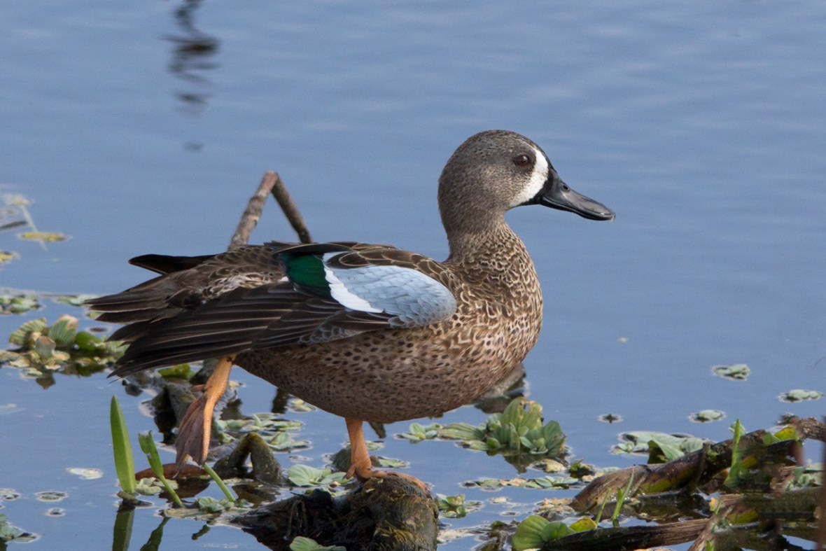 Blue Winged Teal Duck, Wakodahatchee Wetlands, Boynton Beach, FL