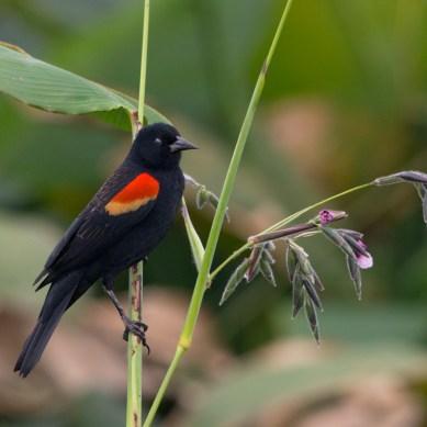 Perched Red-winged Blackbird, Wakodahatchee Wetlands, Boynton Beach, FL