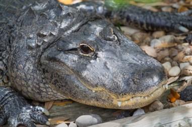 All Smiles, American Alligator, Busch Wildlife Center, Jupiter, FL