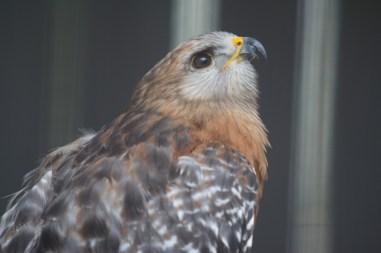 Red Shouldered Hawk, Busch Wildlife Center, Jupiter, FL