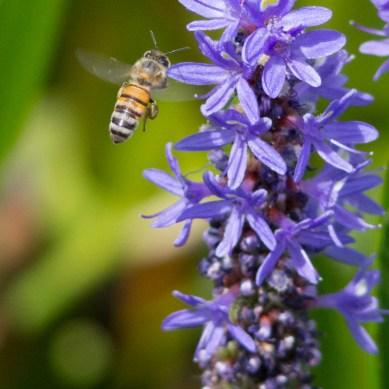 Bee in Flight, Wakodahatchee Wetlands, Boynton Beach, FL