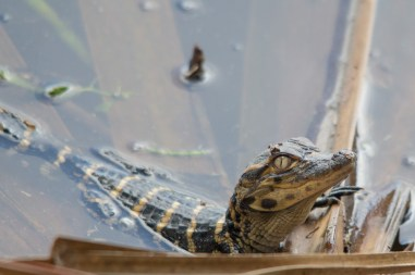 I know something you don't know, Juvenile Alligator, Wakodahatchee Wetlands, Boynton Beach, FL