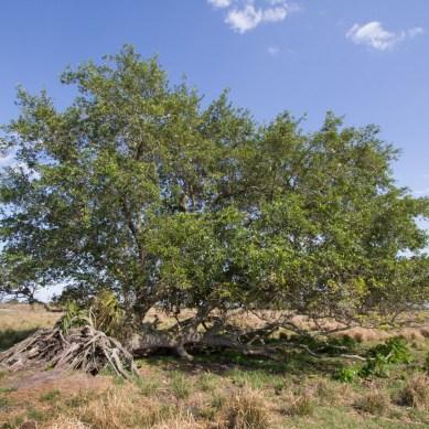 Oak tree, Allapattah Flats, Palm City, FL