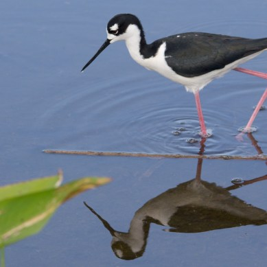 Black-necked stilt, black and white bird with long pink legs and red eyes, Wakodahatchee Wetlands, Boynton Beach, FL