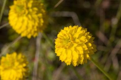 Yellow Milkwort, Jonathan Dickinson State Park, Hobe Sound, FL