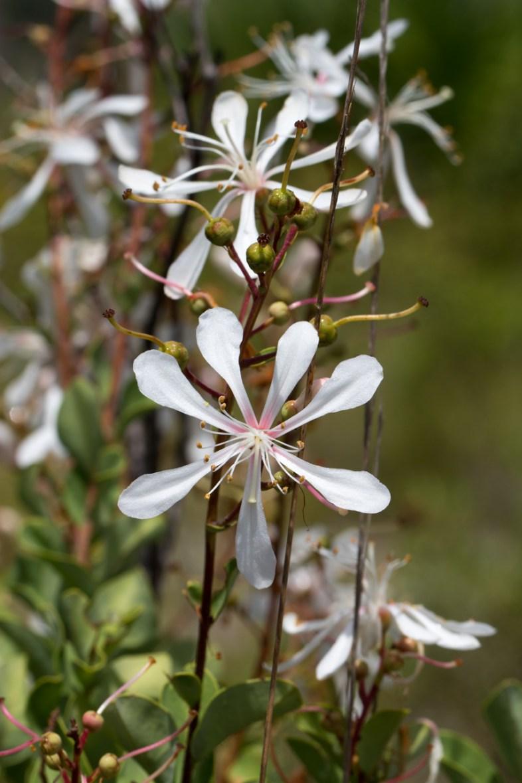 White Wildflower, Jonathan Dickinson State Park, Hobe Sound, FL