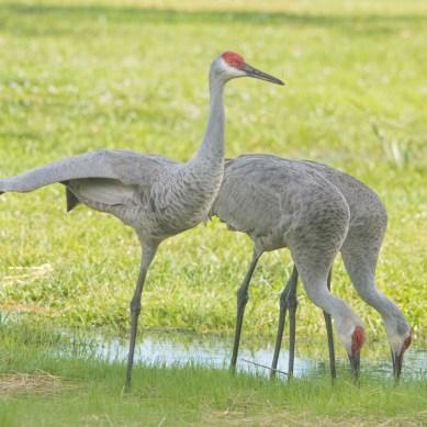 Sandhill Crane Stretch