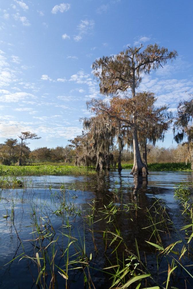 Cypress through the grass, Blue Cypress Lake, Vero Beach, FL