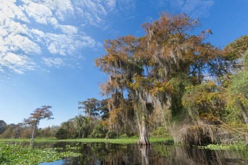 Spanish moss Cypress, Blue Cypress Lake, Vero Beach, FL
