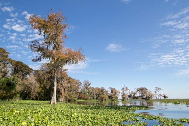 Lilypads and Cypress, Blue Cypress Lake, Vero Beach, FL