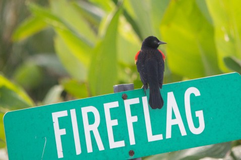 Red winged blackbird, Wakodahatchee Wetlands, Boynton Beach, FL