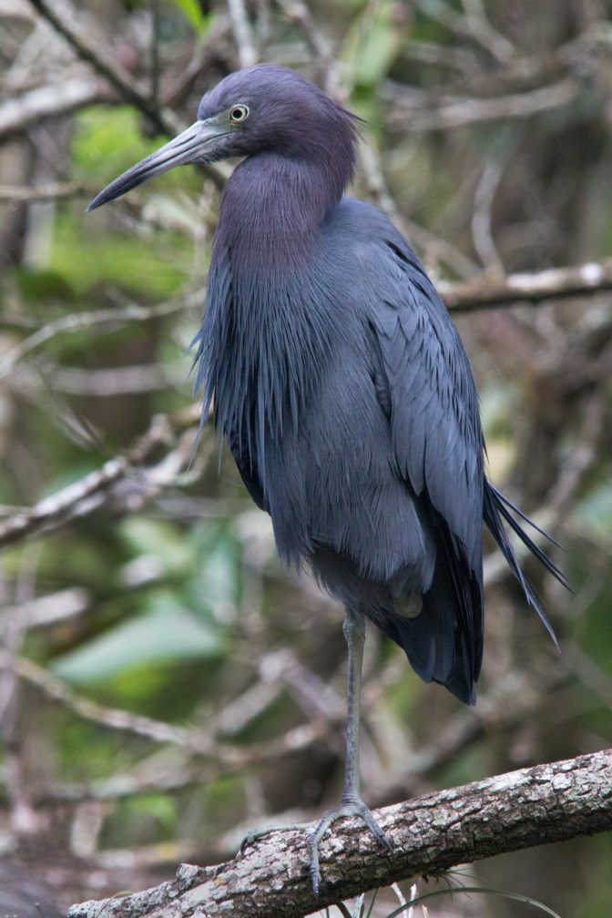Little Blue Heron, Corkscrew Swamp Sanctuary, Naples, FL