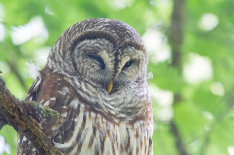 Barred owl, Corkscrew Swamp Sanctuary, Naples, FL