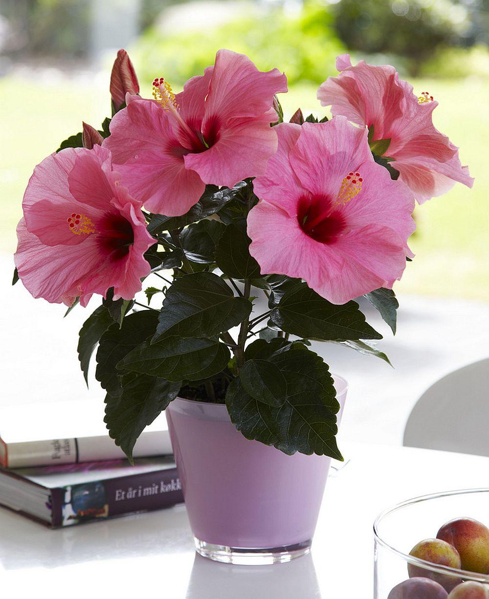 adelaparvu.com despre trandafirul japonez, trandafirul chinezesc, Hibiscus, text Carli Marian, Foto Floradania (1)