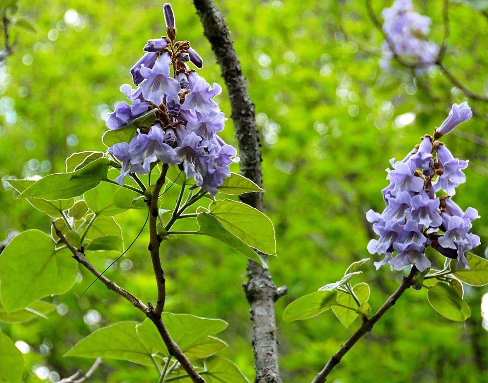 adelaparvu.com despre arborele minune Paulownia, arborele care creste 5 metri pe an, Text Carli Marian (11)